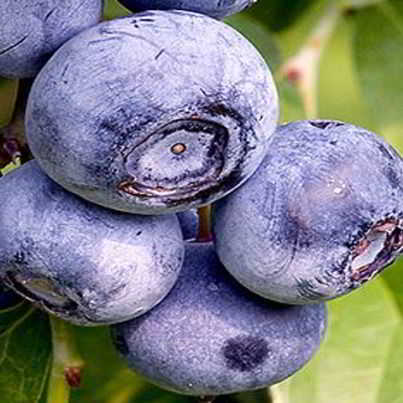 Berkley Blueberry Seed - Organic 35 Count