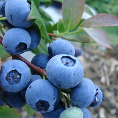 Chanddler Blueberry Seed - Organic 35 Count