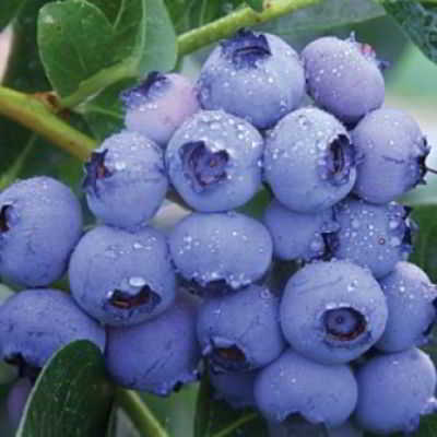 Giant Patriot Blueberry Seed - Organic 35 Count