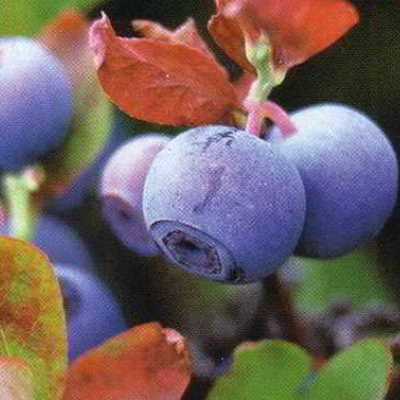 Powder Blue Blueberry Seed - Organic 35 Count