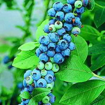 Sunshine Blueberry Seed - Organic 35 Count