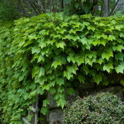 Ginza Lights Boston Ivy Seed - 15 Count