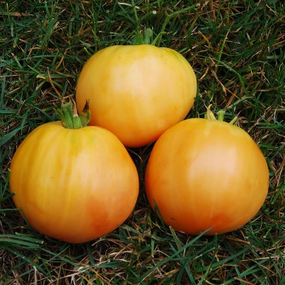 Organic Golden Delight Tomato Seeds - 20 Count