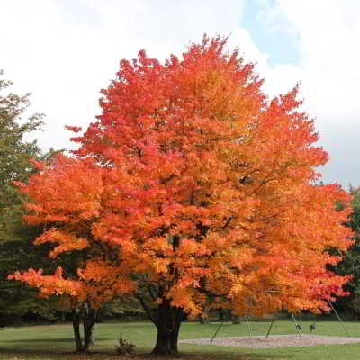 Sugar Maple Seeds - Fall Fiesta - 15 Count