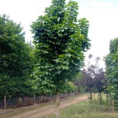 Sugar Maple Seeds - Columnare (Newton Sentry) - 15 Count