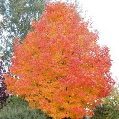 Sugar Maple Seeds - Goldspire - 15 Count