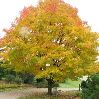 Sugar Maple Seeds - Green Mountain - 15 Count