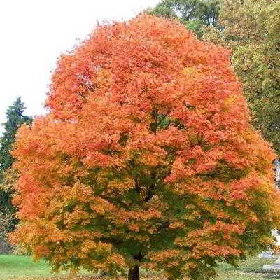 Sugar Maple Seeds - 15 Count
