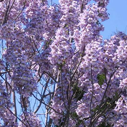 Lavender Paulowina Elongata Tree - 200 Seeds