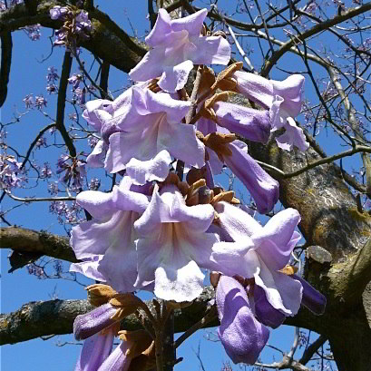Lavender Royal Paulownia Tree - 200 Seeds
