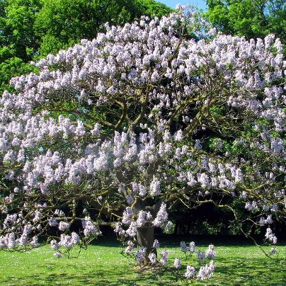 White Royal Paulownia Tree - 200 Seeds