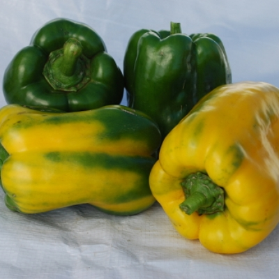 Organic Yellow Monster Pepper Seeds - 15 Count