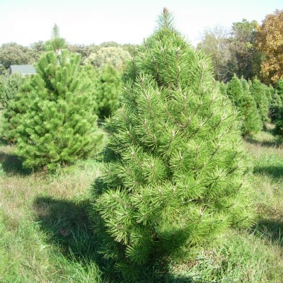 Austrian Pine Tree Seeds - 25 Count