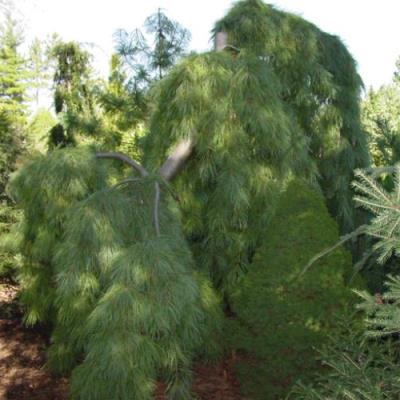 Weeping Eastern White Pine Tree Seeds - 25 Count