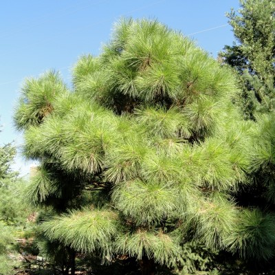 Loblolly Pine Tree Seeds - 25 Count
