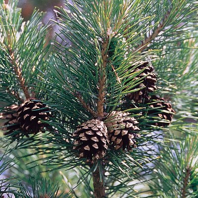 Scots Pine Tree Seeds - 25 Count