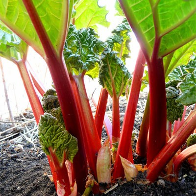 Organic Cherry Red Rhubarb Seeds - 15 Count