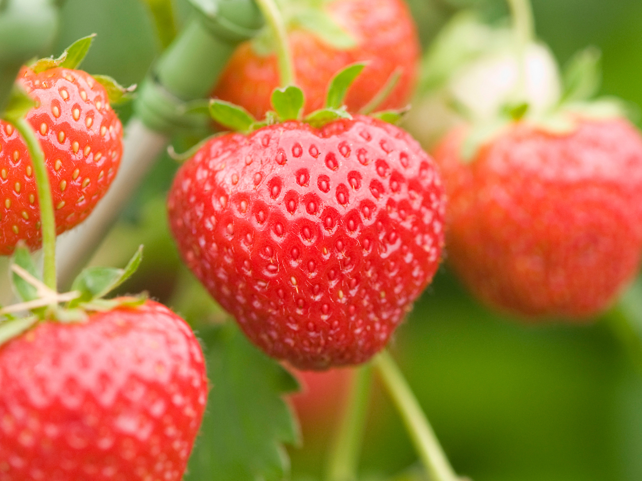 Organic Alexandria Strawberry Seeds - 25 Count