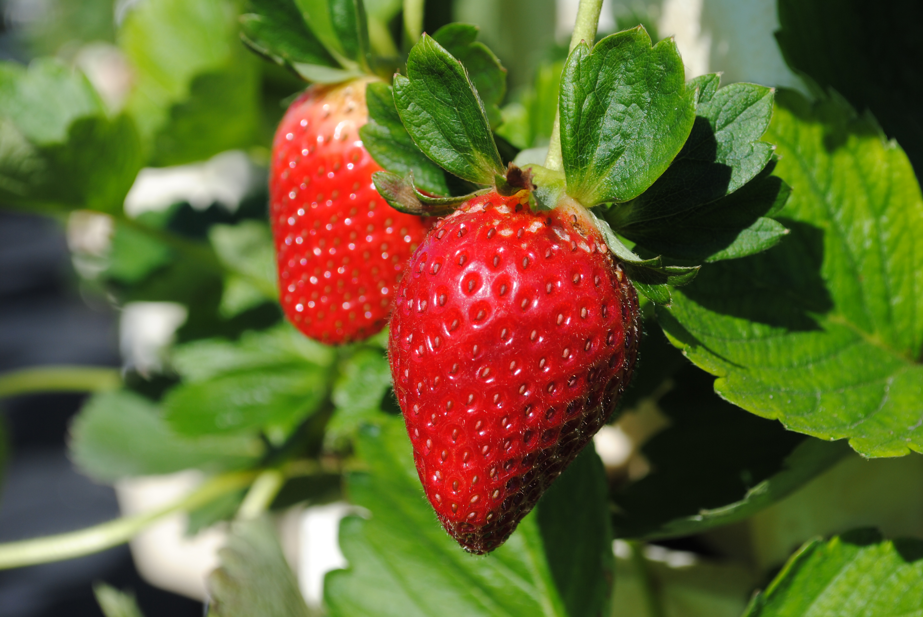 Organic Earliglow Strawberry Seeds - 25 Count