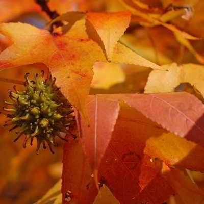 Afterglow Sweetgum Tree Seeds - 15 Count