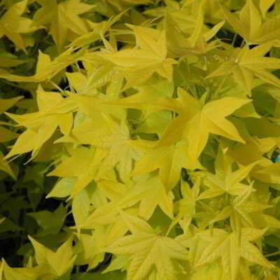 Naree Yellow-leaved Sweetgum Tree Seeds - 15 Count
