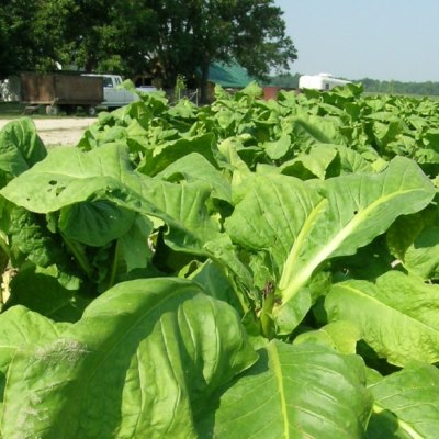 Heirloom Antique Shades Tobacco Seeds - 20 Count