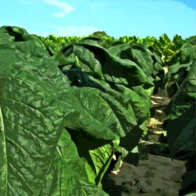 Heirloom Walker Broadleaf Tobacco Seeds - 20 Count